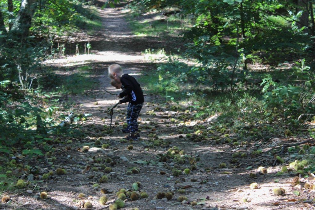 Bijna aan het einde van het wandelrondje vinden we heel veel kastanjes.