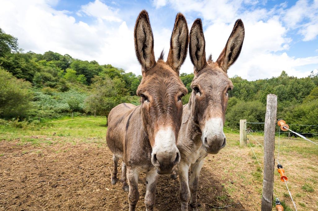 Zie je je al lopen met deze ezels?