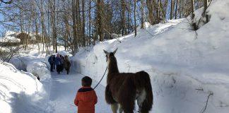 Wandelen met een lama is een leuke winteractiviteit in Wilder Kaiser.