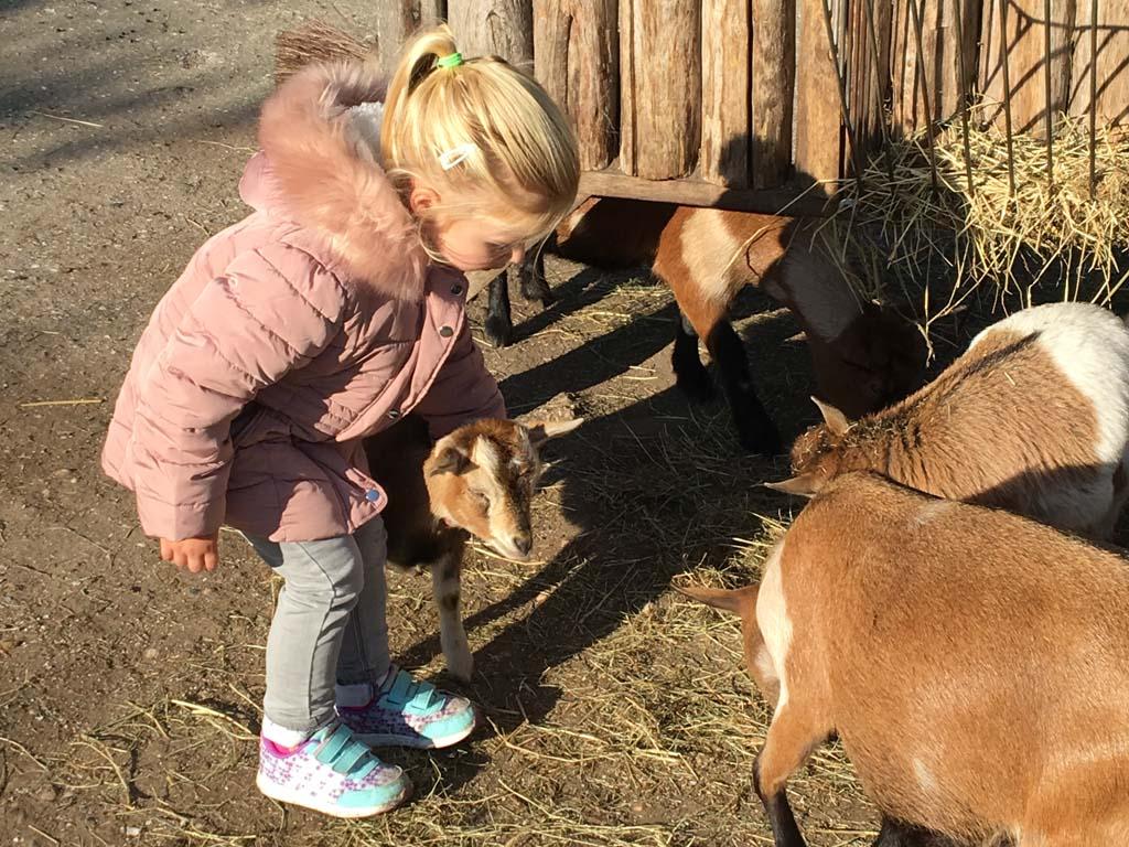 Knuffelen met geitjes in de kinderboerderij.