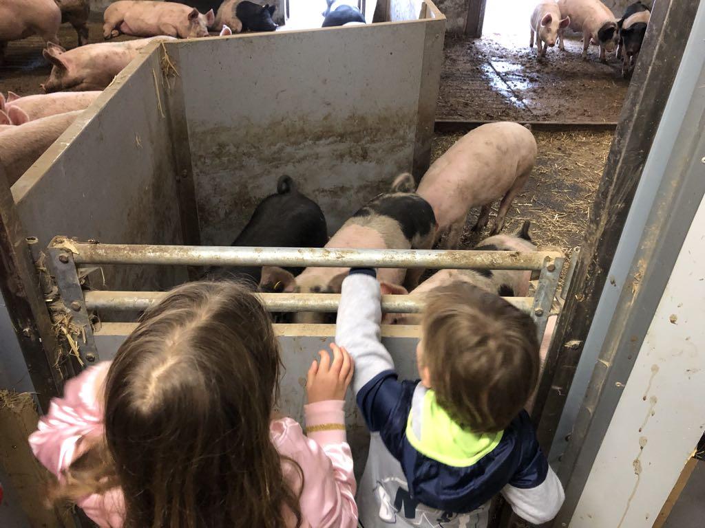 In elk hok even neuzen en contact maken met de varkens.
