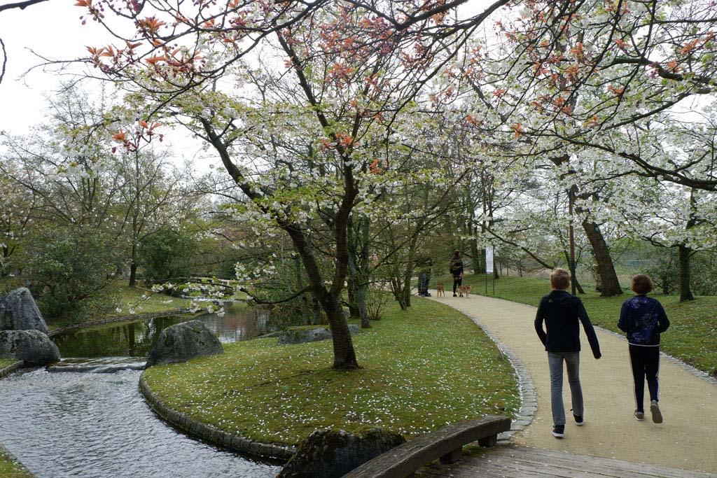 De bomen staan in bloei in de Japanse tuin in Hasselt, wat een prachtig gezicht is