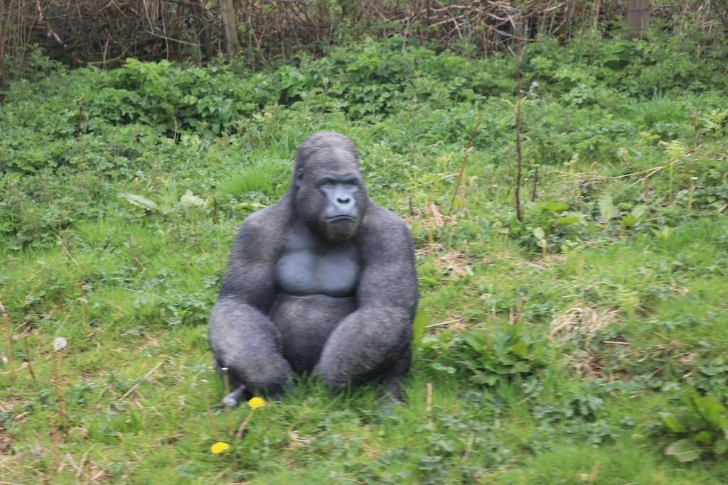 We zien zelfs een gorilla onderweg.