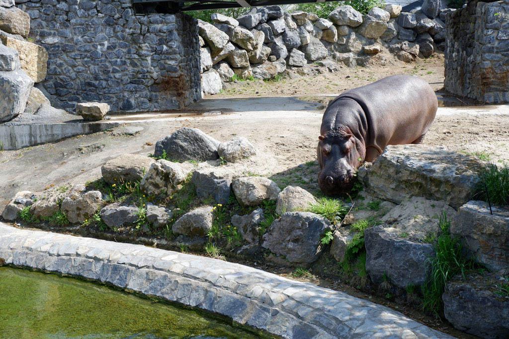 Het nijlpaard is klaar om een bad te nemen