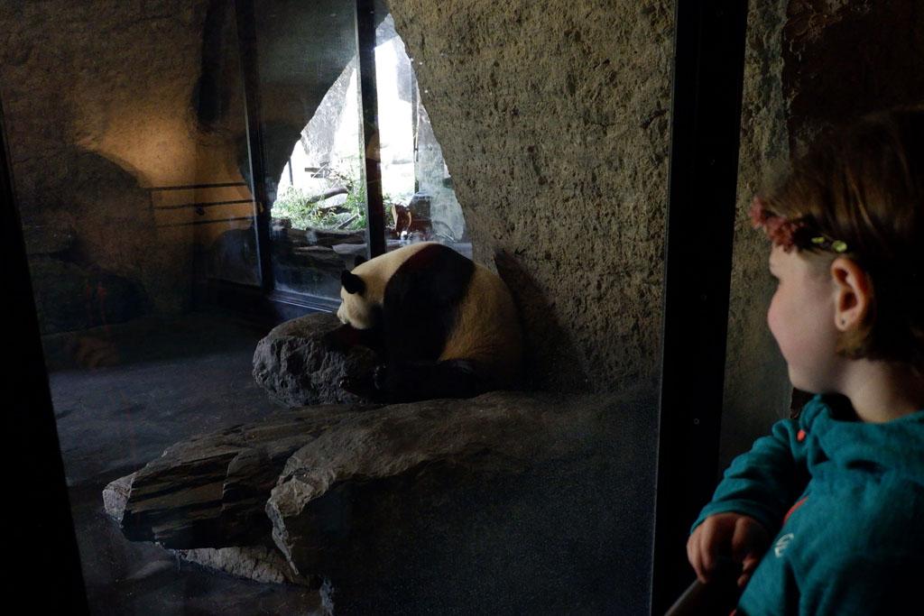 Jammergenoeg zitten de panda's binnen en is het er erg donker om ze goed te kunnen zien