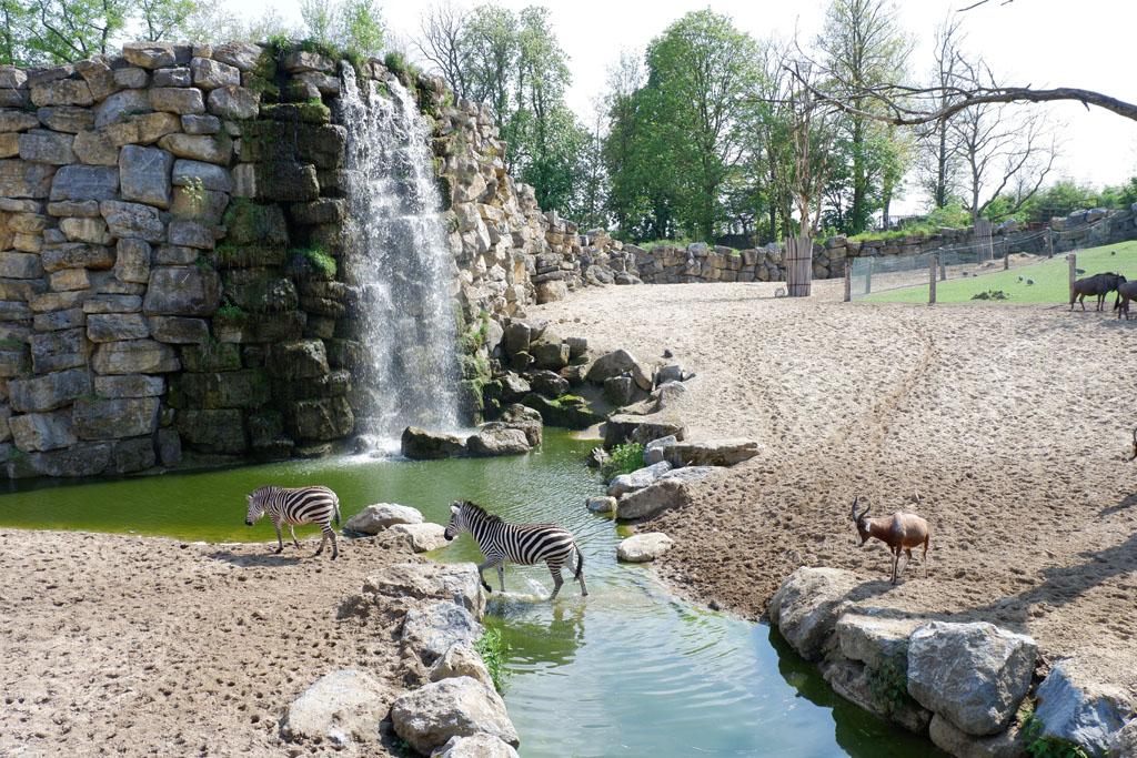 De zebra's kunnen zo onder de douche als ze dat zouden willen