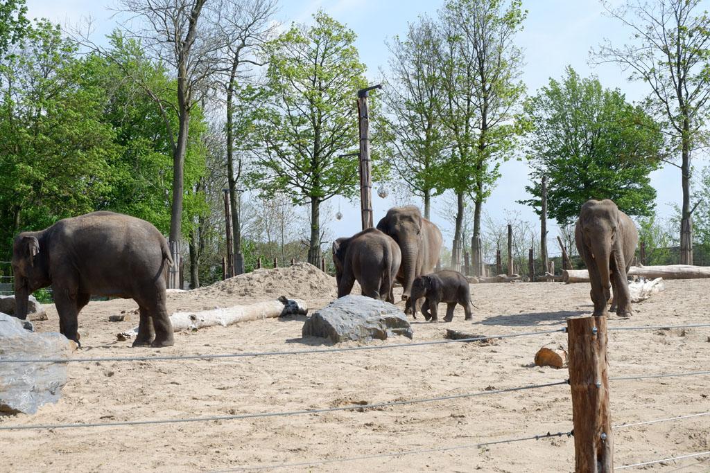 Er is een babyolifantje geboren dat veel bekijks trekt