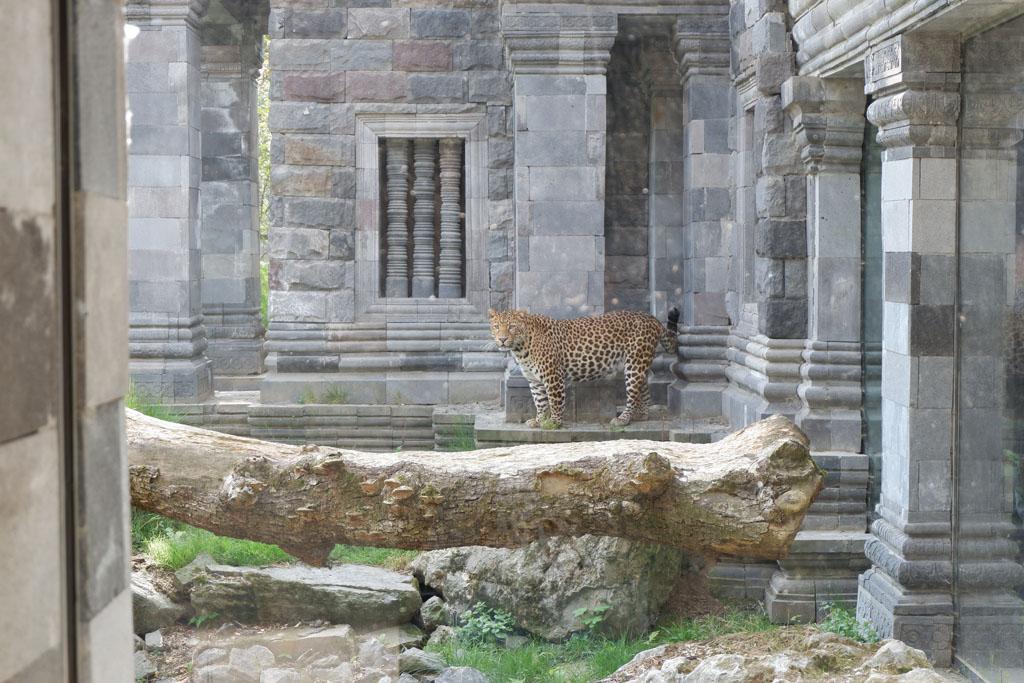 Dit luipaard woont in de tempel van Angkor