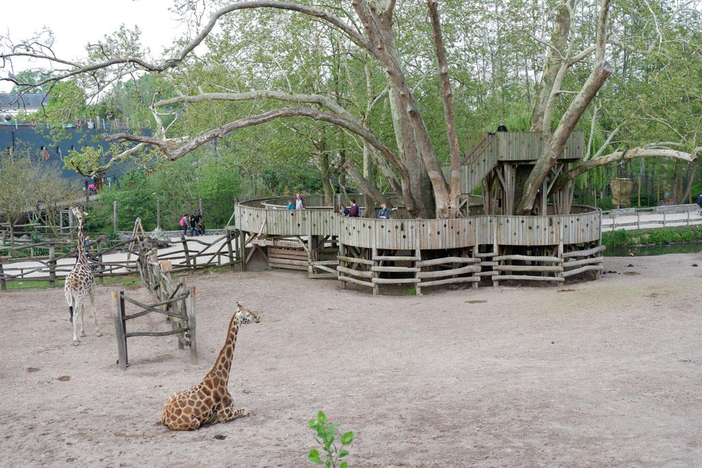 Vanaf de verhoogde uitkijkplaats kijk je de giraffen recht in de ogen