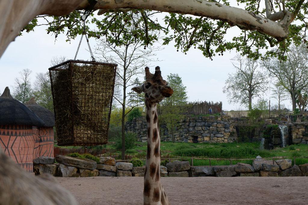 Wij zagen niet eerder een giraffe van zo dichtbij!