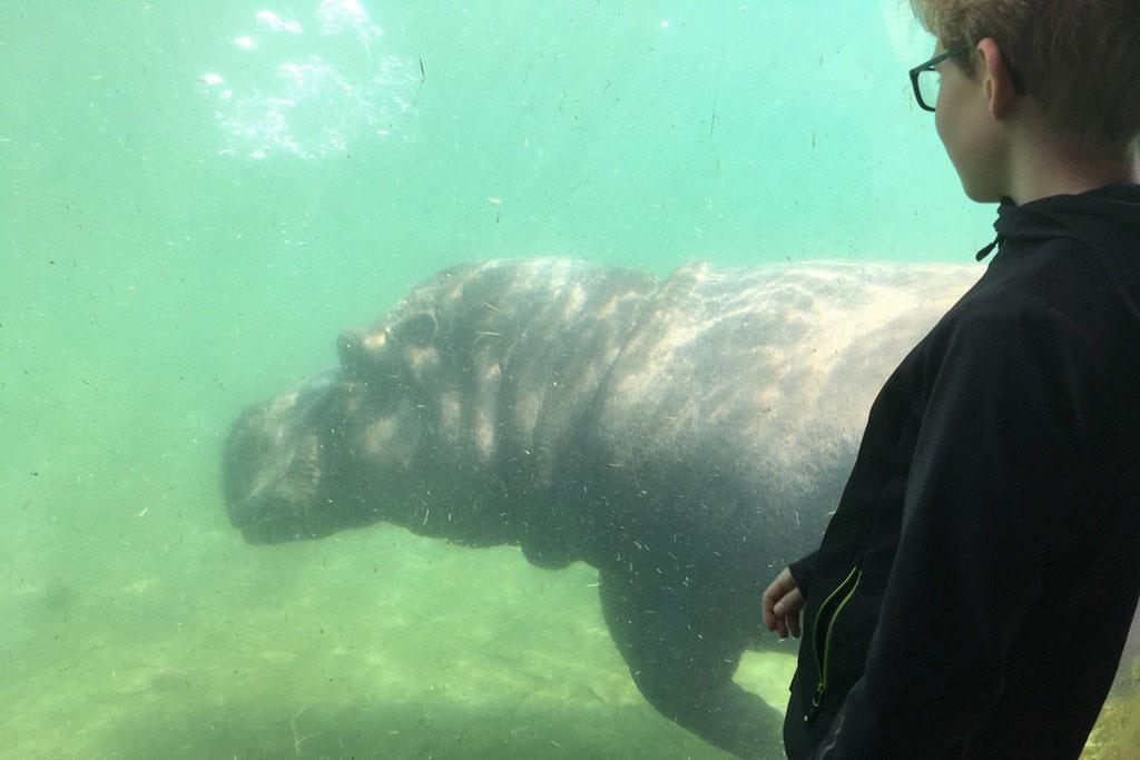 Het enorme nijlpaard houdt van aandacht en zwemt regelmatig langs het glas om de bezoekers te begroeten