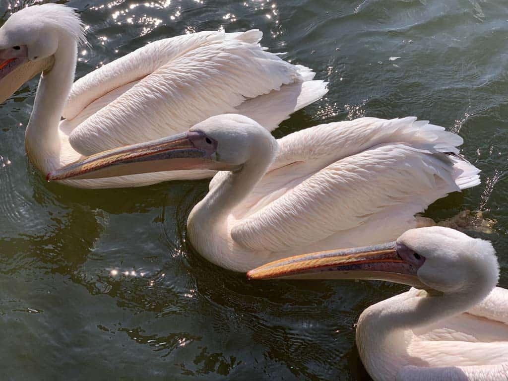 We krijgen er geen genoeg van om naar de pelikanen te kijken.