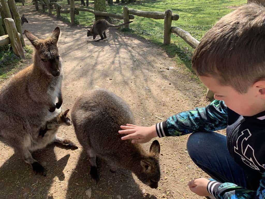 Wandelen door het kangoeroeverblijf. We kunnen ze zelfs aaien!