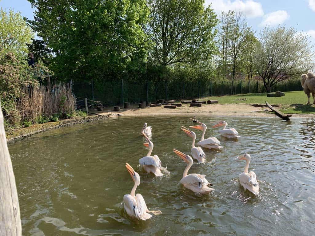 De pelikanen hebben wel zin in een visje.