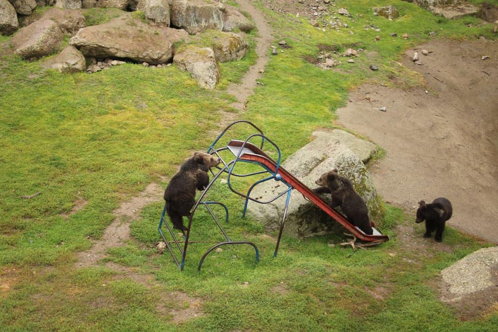 De berenkinderen maken dankbaar gebruik van de glijbaan in hun verblijf.
