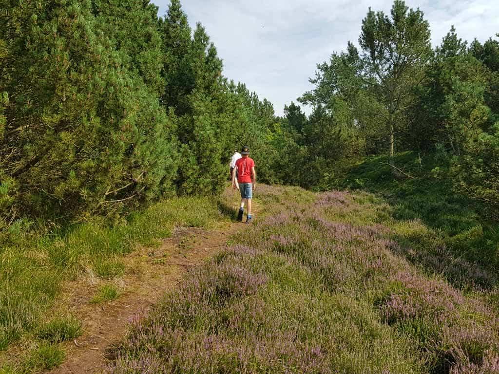 De heide langs het Holländische Pad op de camping staat volop in bloei.