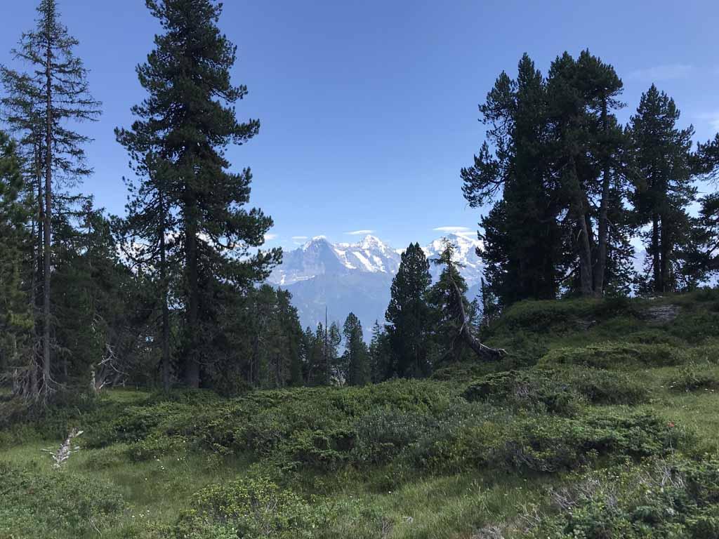 Tussen de bomen door hebben we nog steeds uitzicht op de besneeuwde bergen van het Berner Oberland.