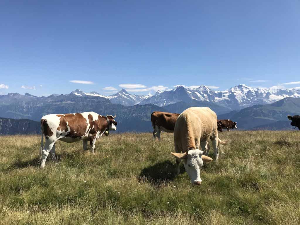 Bovenop de top van de Niederhorn heb je een prachtig uitzicht op de bergtoppen van het Berner Oberland.