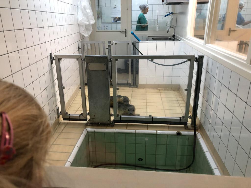 De zeehonden op de intensive care liggen rustig te wachten totdat ze gevoerd worden