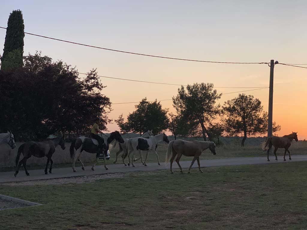 's Avonds wandelen de paarden voorbij, op weg naar de wei.