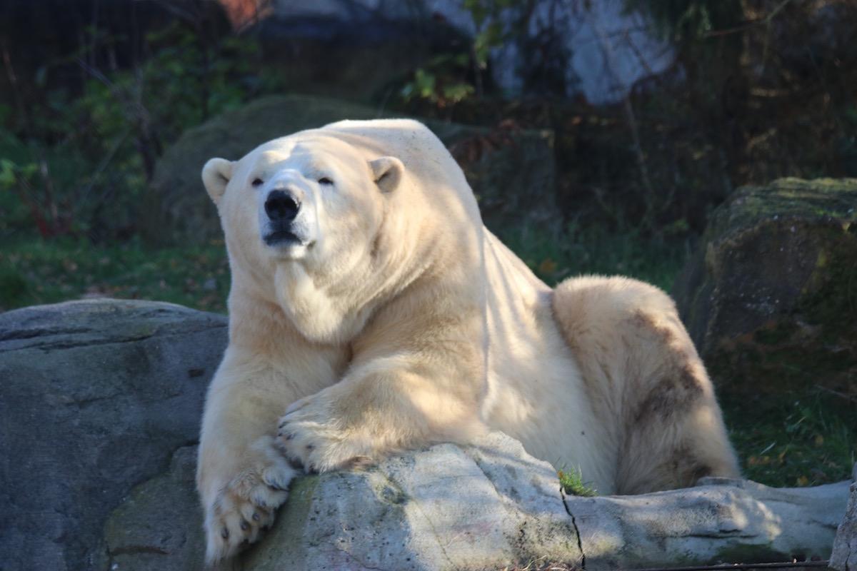 ijsbeer in Hannover Zoo