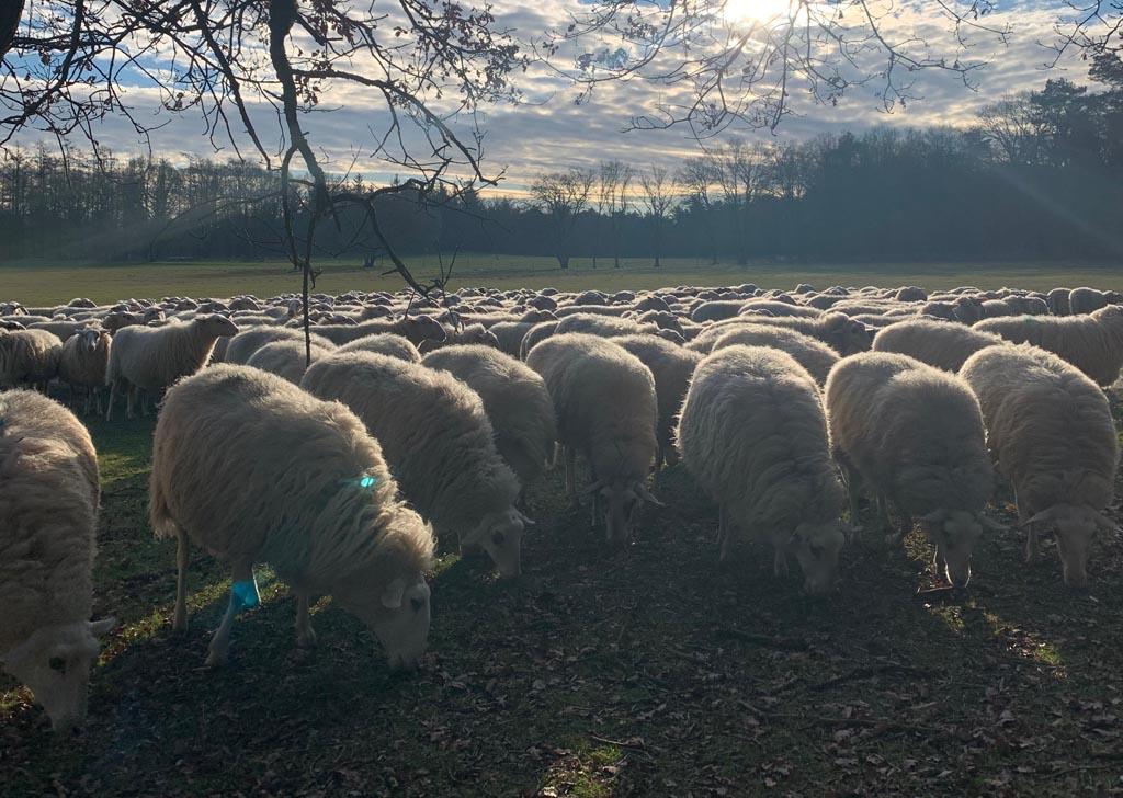 loenermark Veluwse schapen