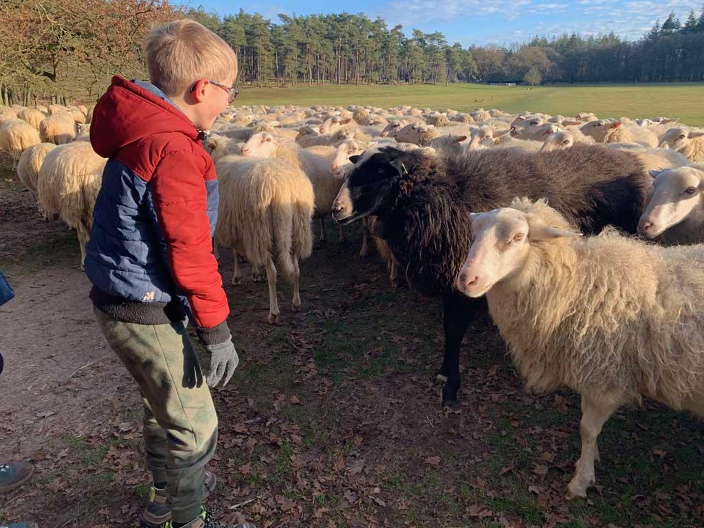 Loenermark schapen