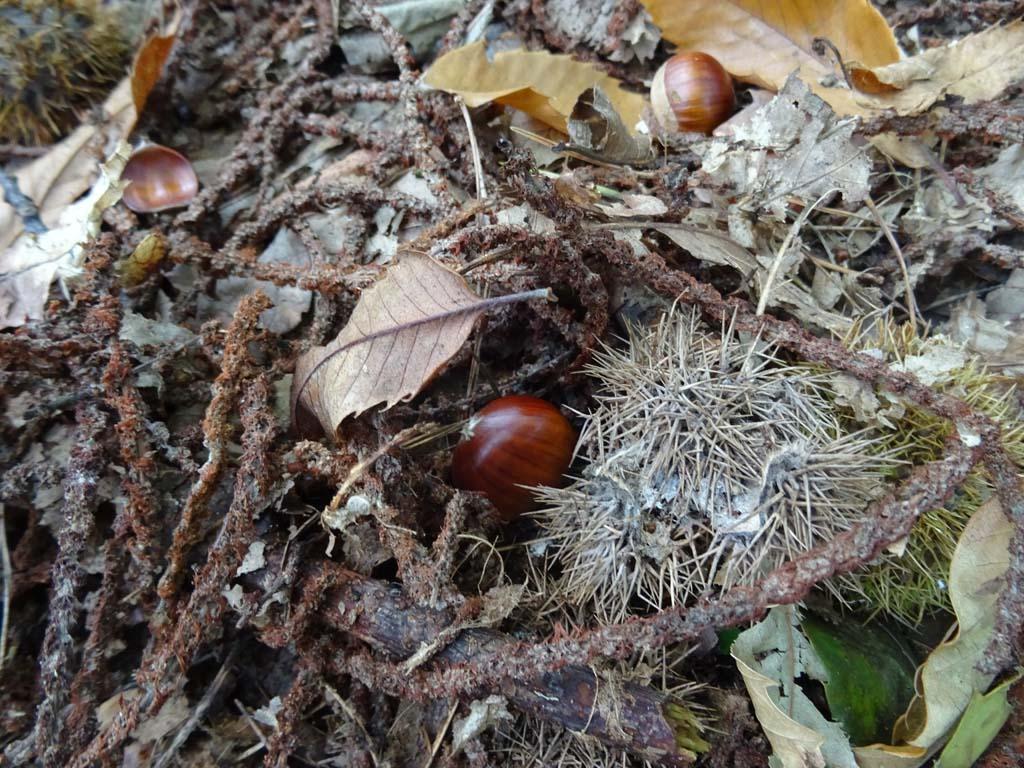 Leuk extraatje bij het blotevoetenpad: heel veel tamme kastanjes.