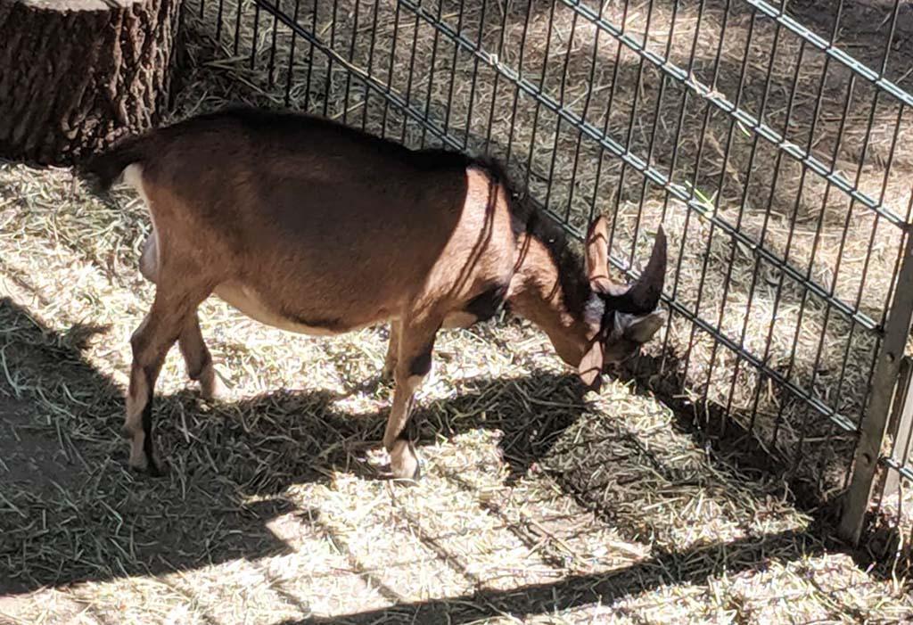 Er zijn veel boerderijdieren in Tierpark Dessau, die gevoerd mogen worden