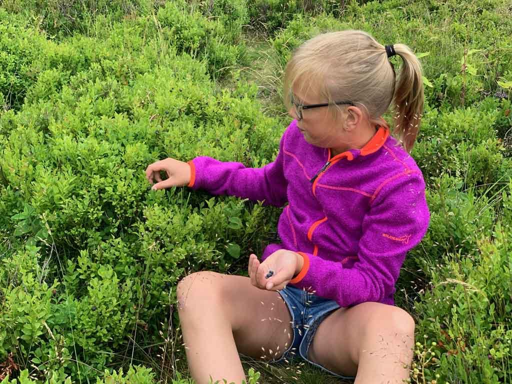 bosbessen plukken Isaby
