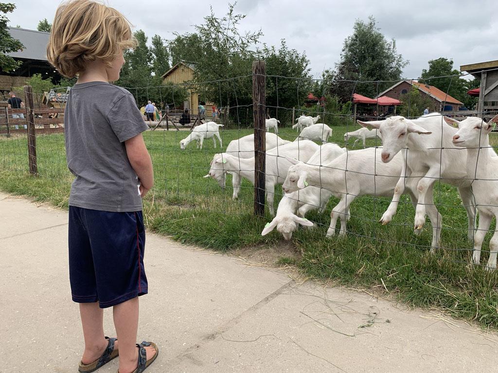 De geiten willen dolgraag geaaid worden, maar de 6-jarige blijft liever nog even op afstand.